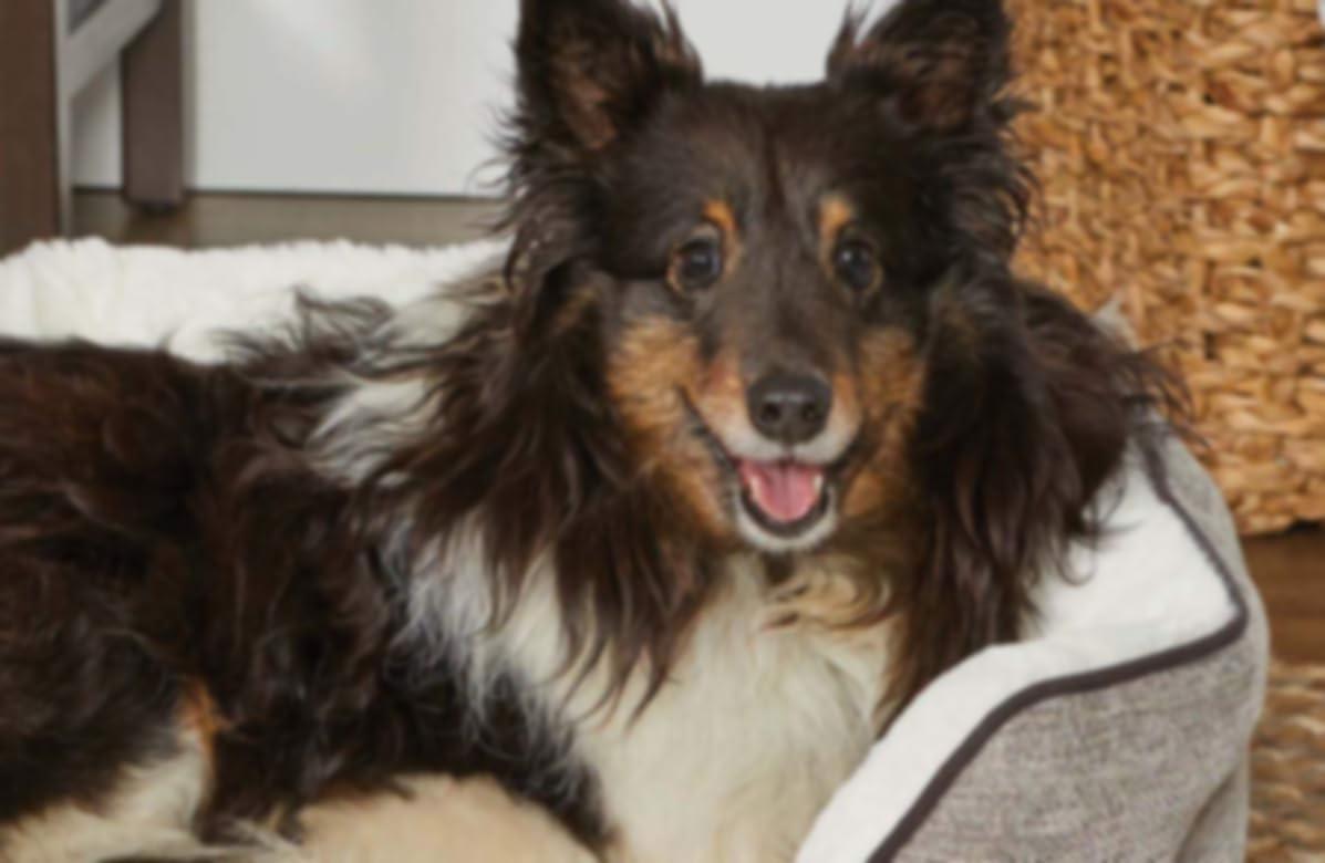 Chien marron et blanc assis sur un lit pour animal de compagnie.