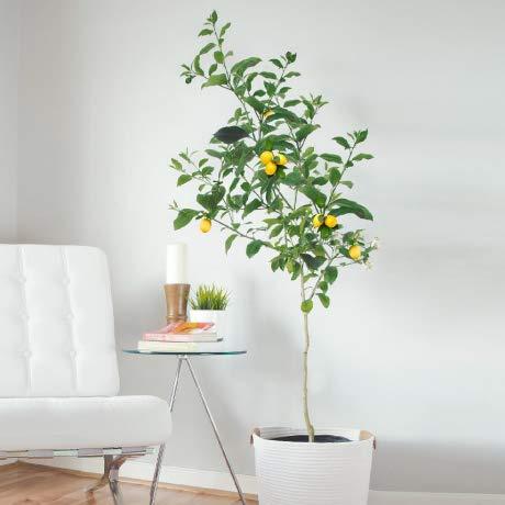 FastGrowingTrees.com - Meyer lemon tree