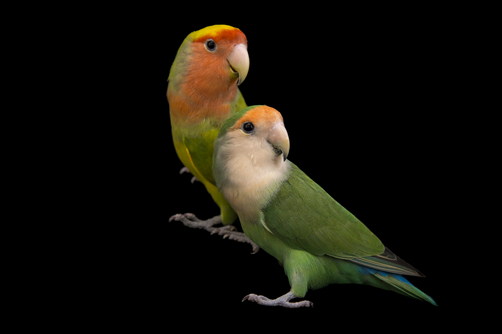 RosyLovebird(1).jpg
