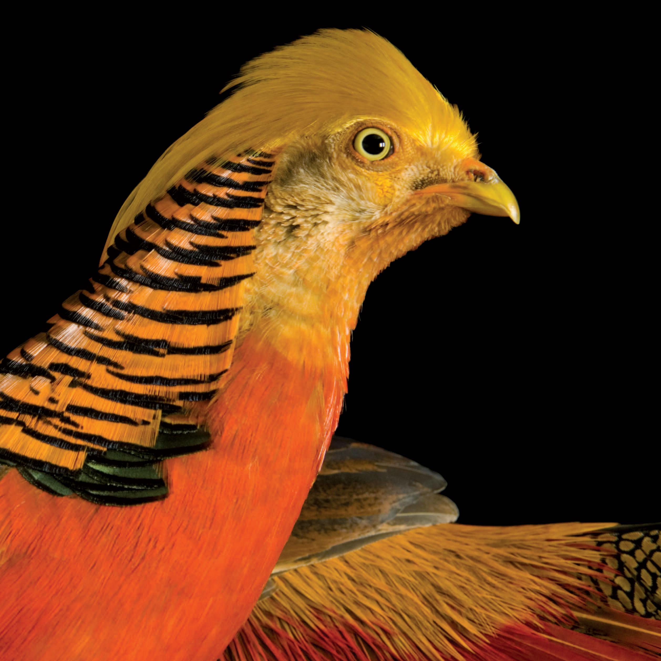 Golden_Pheasant.jpg