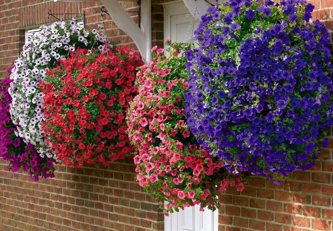 Surfina Petunia Collection You Garden