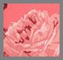 Hot Pink Rose