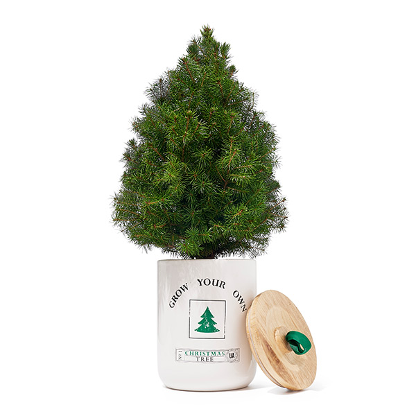 Grow Your Own Christmas Tree by Urban Agriculture