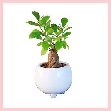 花のギフト社 ガジュマルの木 ガジュマル鉢植え 多幸の木 ガジュマル がじゅまる ミニ観葉 ホワイト