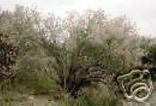 Fallugia paradoxa Apache Plume Seeds!