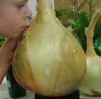 NUEVO 50 PC / bolso de semillas de cebolla gigante. Ailsa Craig escocesa orgánicos de la herencia enorme planta vehículo onion.Bonsai Jardín del envío