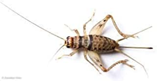 Central Valley Cricket Live Crickets 500 Assorted Medium/Large