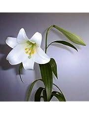 Ramo Flores Frescas de Lilium Azucenas 10 Tallos PORTES GRATIS