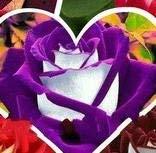 VISTARIC Violet: 10 Pcs Canna Graines Belle semences de fleurs Mix Indica Lily Jardin des plantes Ampoules Fleurs extérieur Bonsai Flores pot. Accueil cadeau