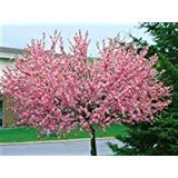 Mandelbaum, Prunus triloba, rosa Blüte,...