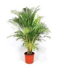 Dypsis Lutescens, Areca Palme d'or de canne palmiers ornementaux Graine de plantes - 25 graines