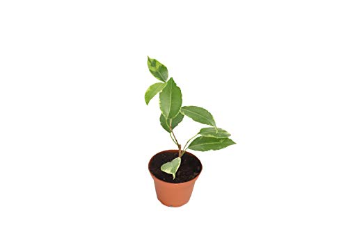 "Ficus Benjamina Variegated - 2"" from California Tropicals"
