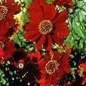 Coreopsis tinctoria Dwarf RED Perennial Seeds!