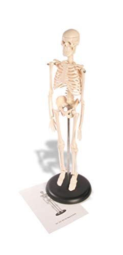 American Educational Skeleton Model, 17' Height