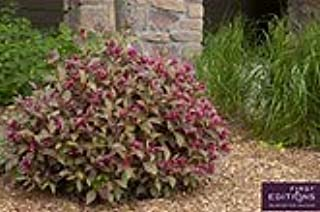 Pixies Gardens (1 Gallon Shining Sensation Weigela is A Prolific Bloomer with Loads of Pink Funnel-Shaped Flowers That Blo...