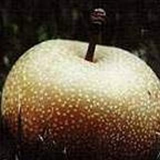 Korean Giant Asian Pear Fruit Tree Grafted Live Olympic by Martha's Secrets