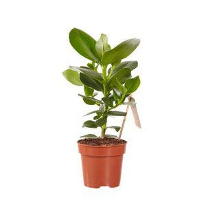 Zimmerpflanze von Hellogreen - Clusia Prinzessin - Höhe: 28cm