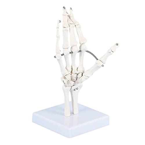 ZJM Modelo De Hueso De Mano De Tamaño Natural, Modelo De Articulación De Mano Humana, Modelo De Esqueleto De Mano Anatómico Médico, Representa El Movimiento Natural De La Mano Humana
