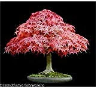 Acer Atropurpureum Japanese Maple Seeds Perfect Bonsai Bloodgood Top Choice