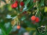 seedsown 5 Samen der Arbutus Unedo Erdbeerbaum-Samen