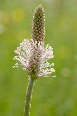 Just Seed Britische Wildblume Mittlerer Wegerich Plantago media 600 Samen