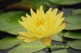Mühlan - Eine gelb blühende Seerose für den Teich, der Blickfänger für den Gartenteich, winterharte Pflanze