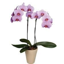 Orquidea natural lila de dos tallos a domicilio