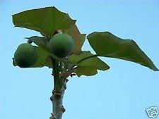 Jatropha curcas Rare Cactus suculento de los recolectores de semillas 15 Semillas