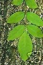 10 Samen von Rot-Esche Esche Seeds
