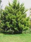 VISA STORE Cupressus macrocarpa MONTEREY Semillas de...