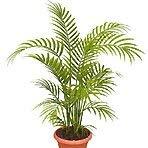 Shop Meeko 25 Semillas Chrysalidocarpu? S palma Areca lutescens, erfly Palmplant