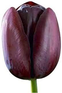 Special Sale: 5 Queen of Night Tulip Bulbs - Fresh Bulbs from Holland October 2018