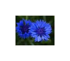Les Graines Bocquet - Graines De Centaurée Barbeau Double Bleu - Graines Potagères À Semer - Sachet De 1Grammes