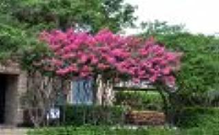 4 Pack - Tonto Crape Myrtle Trees - Red/Fushia Blooms