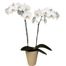 Orquidea natural blanca a domcilio de dos tallos