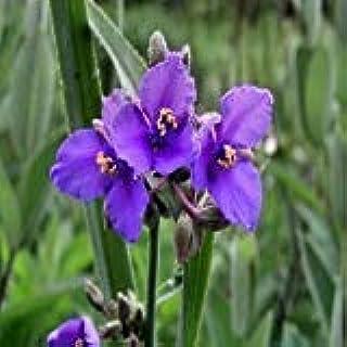 PLAT会社:オハイオ州Spiderwort種子(ムラサキツユクサ属Ohiensis)50個の+種子(100+)