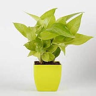 Live Money Plant with Plastic Pot 5 inches Pot