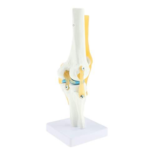 Sharplace Estatua de Articulación de Rodilla Humana Modelos Materiales Educativos Médicos