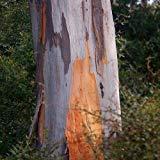 Eucalyptus gris Graines de gommier (Eucalyptus) punctata 100 + Graines (400+)
