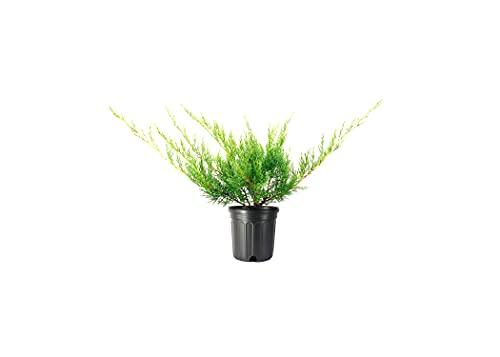 Hetzi Juniper | 3 Live Gallon Size Trees | Juniperus Chinensis | Drought Tolerant Cold Hardy Evergreen Privacy Screening Plants
