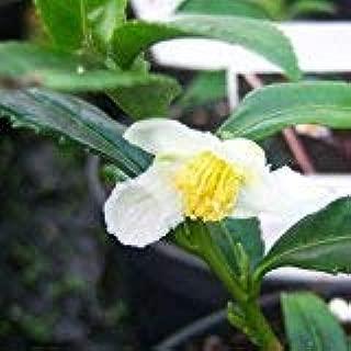 Cross Common Nursery Camellia sinensis VAR. Assamica (Tea Plant)