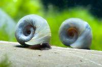 Blauwe posthoornslak - Planorbella duryi 5 stuks algenfresser in aquarium