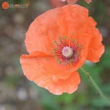 Rare Bleu pavot Persique Papaver somniferum Graines de fleurs bricolage jardin facile à cultiver 200 particules / lot