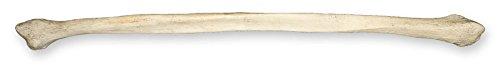 Real Human Fibula (Natural Bone)