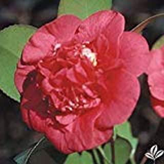 (3 Gallon) April TRYST Camellia- Cute red Anemone-Form Flowers. Cold Hardy Camellia, Lots of Blooms Over an Extended Period from mid- to Late-Spring.