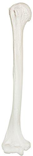 Axis Scientific Humerus Bone Model | Right | Cast from a Real Human Humerus Bone l Upper Arm Bone...