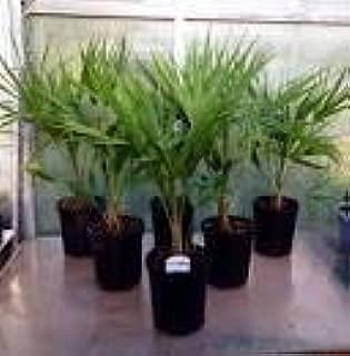 Chinese Windmill Palms 3 Pack- Cold Hardy Windmill Palms