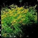 JustSeed Saatgut, Rainfarn (Tanacetum Vulgare, 1600 Samen