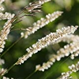 Silky pointes Melic Graines herbe ornementale (Melica ciliata) 30 + Graines (60+)