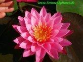 Mühlan - Zwergseerosen Mix - je eine Zwergseerose mit der Blütenfarbe rot, weiß und gelb, winterharte Pflanzen